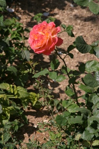 Rose from the Garden of Gethsemane in Jerusalem